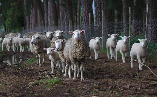 A picture of sheep